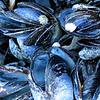 220_BlueMusselpt
