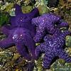 76_Starfishfamily