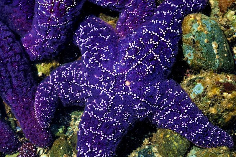 75_PurpleWhiteStar
