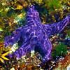 74_WallysStarfish