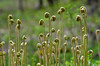 Early Spring, Fiddlehead Series, Canaan Valley State Park, WV