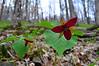 Early Spring, Trillium, Canaan Mountain