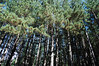 Pine plantation planted on Big Stonecoal Trail