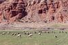 Colorado Sheep near Capital Reef National Park