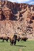 Bison near Capital Reef National Park