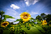 a_DSC4692 ##SUNFLOWER CLOSE UP ORIGINALuntitled