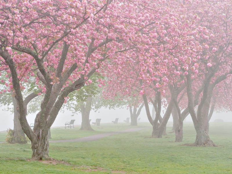 Cherry Trees in the Fog