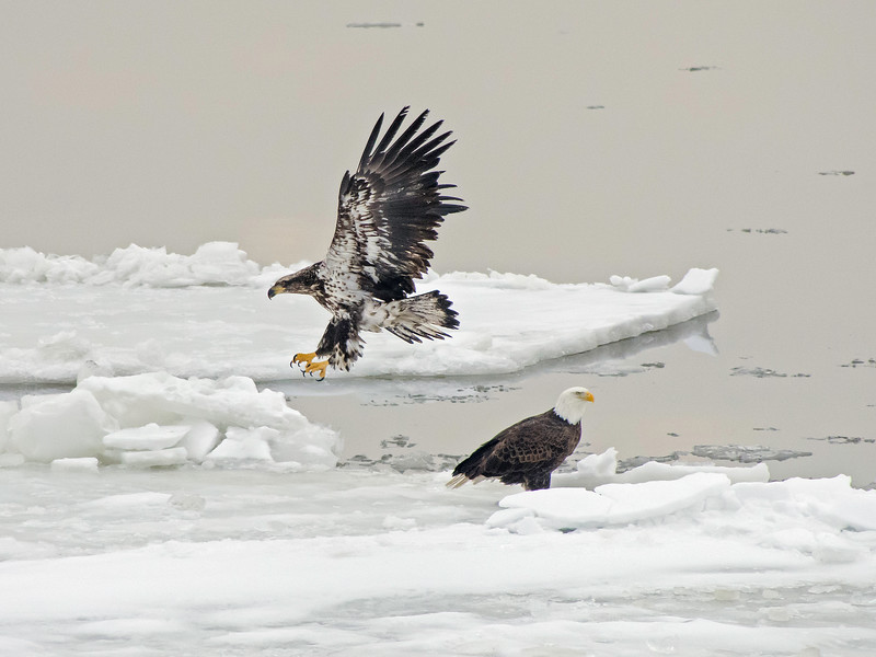 Wintering Eagles