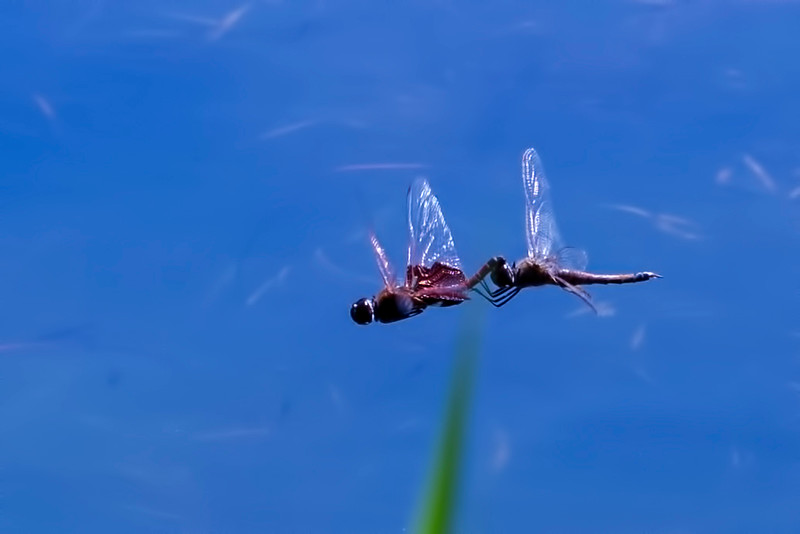Carolina saddlebags mating pair in flight
