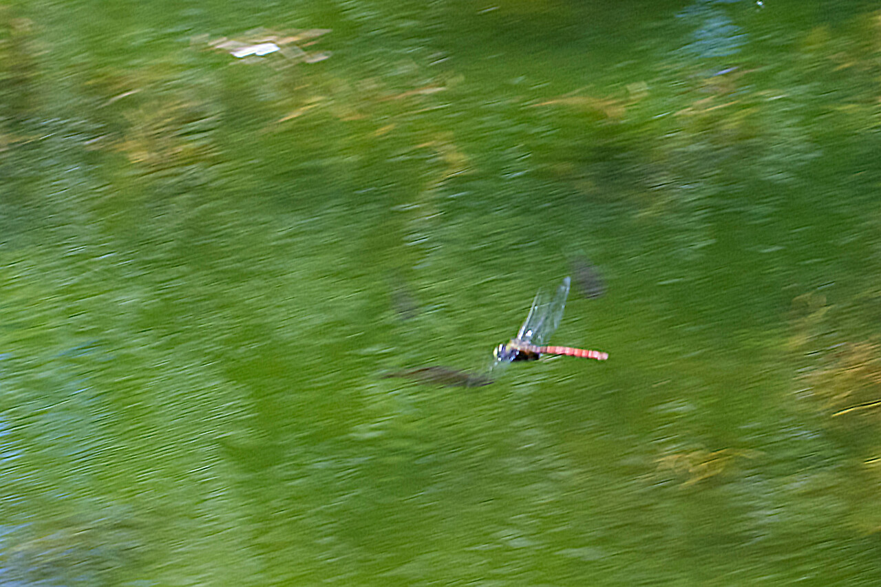 Comet Darner - one of the most difficult to photograph