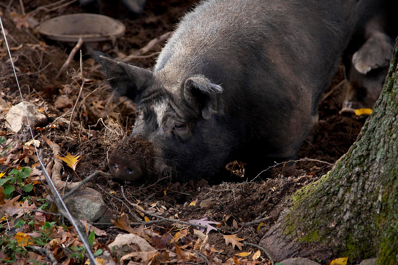 Digging Berkshire Pig