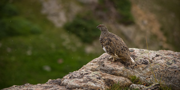 White Tailed Ptarmigan, Colorado