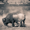Dust bathing Bison at Yellowstone