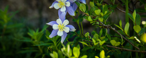 The Elegant Columbine