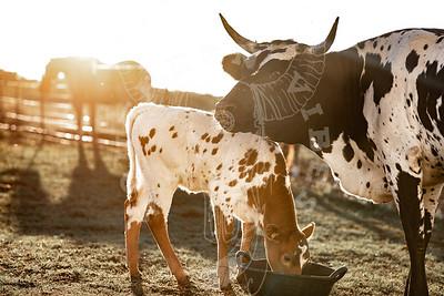 Longhorn Mama and Calf
