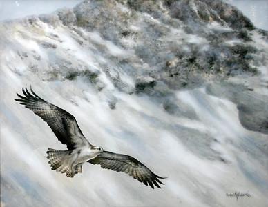 OSPREY FLYING OVER BLACKCOMB MOUNTAIN