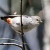 Mistletoebird (female) (Dicaeum hirundinaceum)