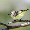 Yellow-rumped Thornbill