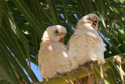 Corella Couple