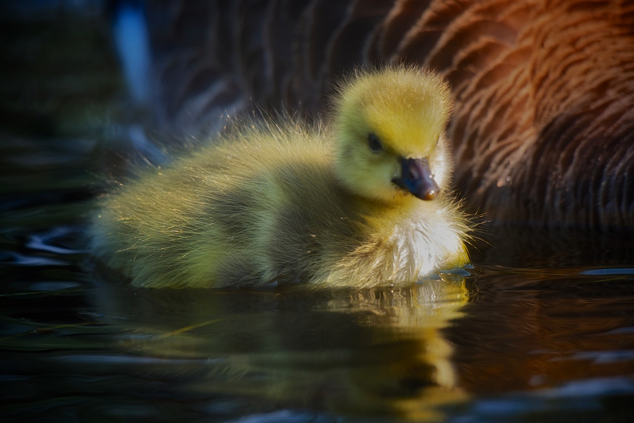 A photo of a gosling taken a few weeks ago. She'll be full grown now and probably has started her journey south.  Although there are still waves of Canada Geese stopping in the back yard.