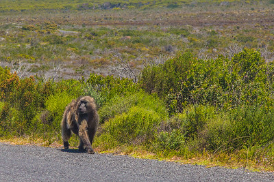 Baboon!  Cape Point, South Africa