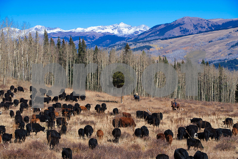 Ranchers herds cattle