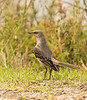 Northern Mockingbird