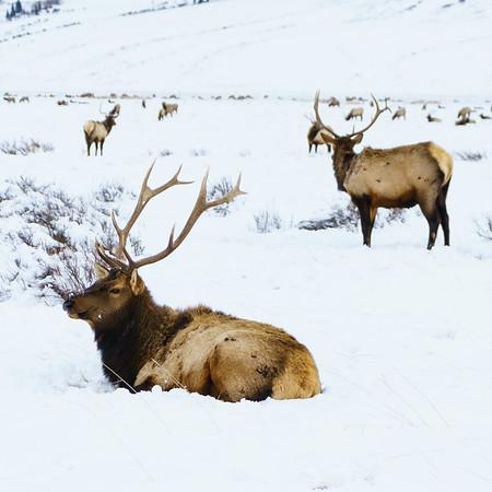 Bull Elk / Jackson, Wyoming