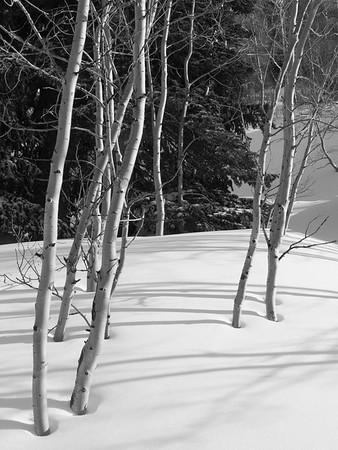 Wasatch Aspens 1 / Snowbird, Utah