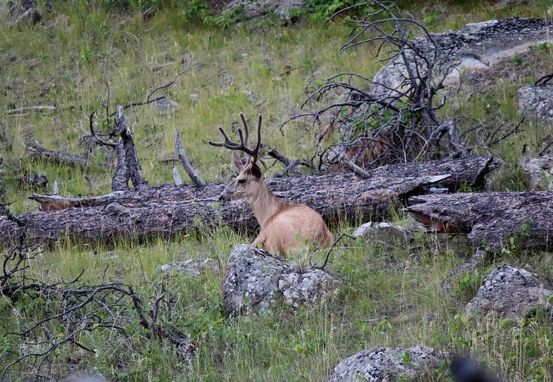 Resting Deer