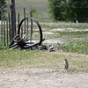 Prairie Dog and Wagon Wheel