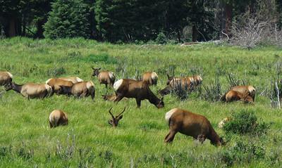 Lots of elk.