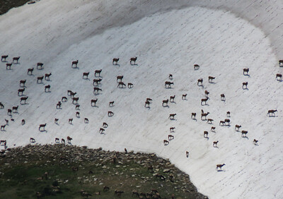 Elk cooling themselves off on the snowfield.