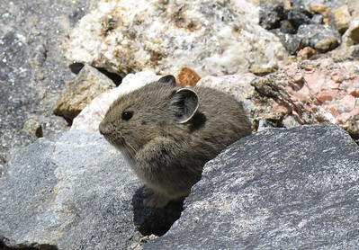 A fur-ball with ears is how pika have been described.  But they do have little feet, as you can see.