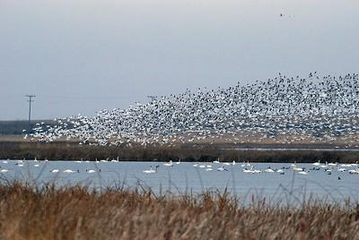 snow geese rising DSC_4188.jpg