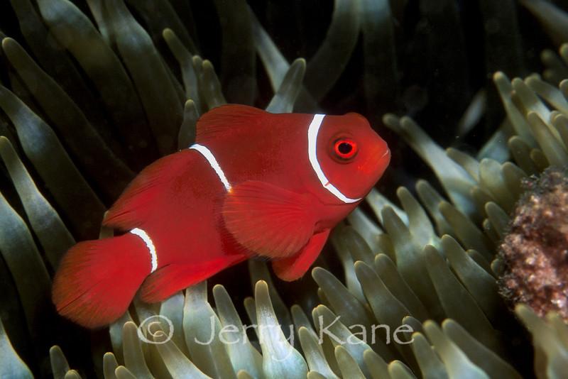 Juv Spinecheek Anemonefish (Premnas biaculeatus) - Milne Bay, Papua New Guinea