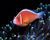 Pink Anemonefish (Amphiprion perideraion) - Anilao, Philippines