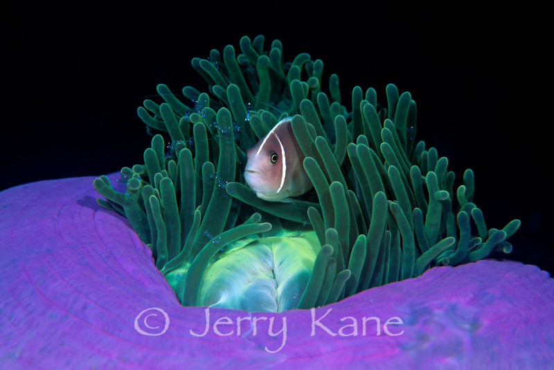 Pink Anemonefish (Amphiprion perideraion) - Lembeh Strait, Indonesia