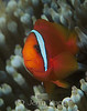 Bridled Anemonefish (Amphiprion frenatus) - Anilao, Philippines