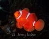 Spinecheek Anemonefish (Premnas biaculeatus) - Lembeh Strait, Indonesia
