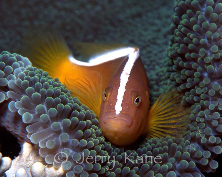 Skunk Anemonfish (Amphiprion sandaracinos) - Sulawesi, Indonesia