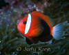 Black Anemonefish (Amphiprion melanopas) - Milne Bay, Papua New Guinea