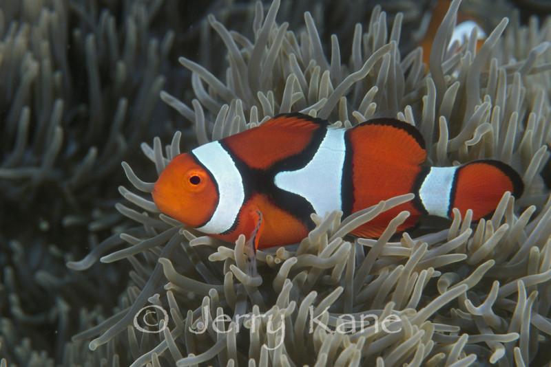 Eastern Clown Anemonefish (Amphiprion percula) - Solomon Islands
