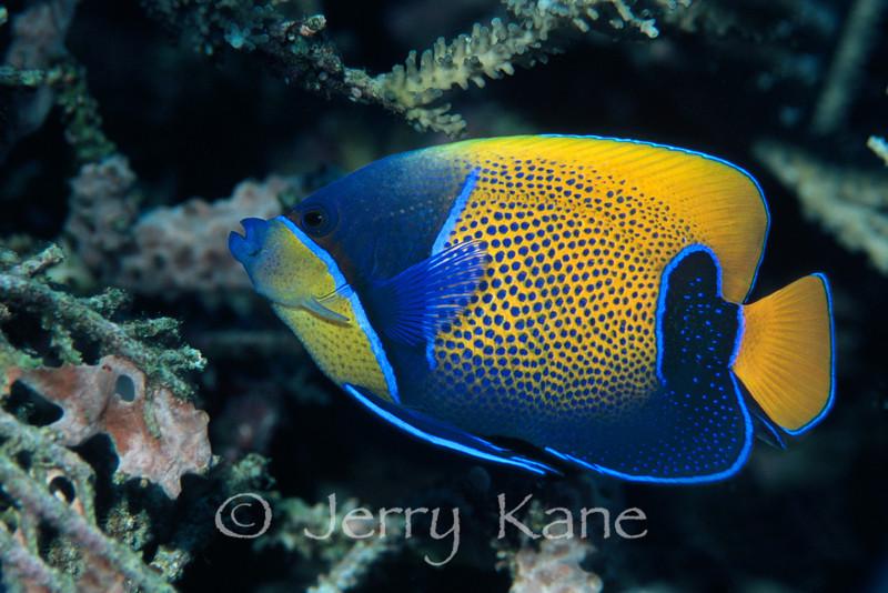 Blue Girdled Angelfish (Pomacanthus navarchus) - Milne Bay, Papua New Guinea