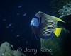 Emperor Angelfish (Pomacanthus imperator) - Milne Bay, Papua New Guinea
