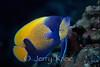 Majestic Angelfish (Pomacanthus navarchus) - Wakatobi, Onemobaa Island, Indonesia