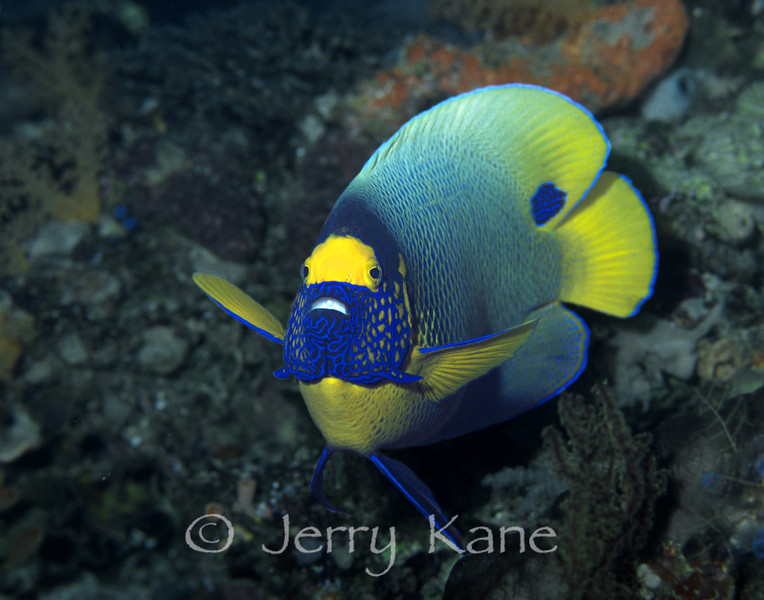 Blue Mask Angelfish (Pomacanthus xanthometopon) - Wakatobi, Onemobaa Island, Indonesia