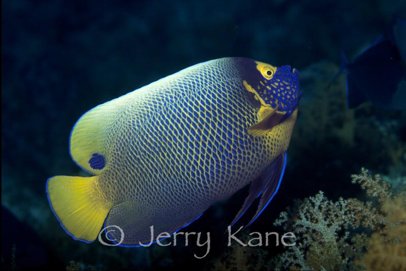 Blue Mask Angelfish (Pomacanthus xanthometopon) - Wakatobi, Onemobaa Island, Indonesia