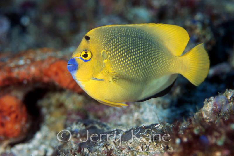 Three-Spot Angelfish (apolemichthys trimaculatus) - Wakatobi, Onemobaa Island, Indonesia