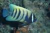 Six-banded Angelfish (Pomacanthus sexstriatus) - Wakatobi, Onemobaa Island, Indonesia